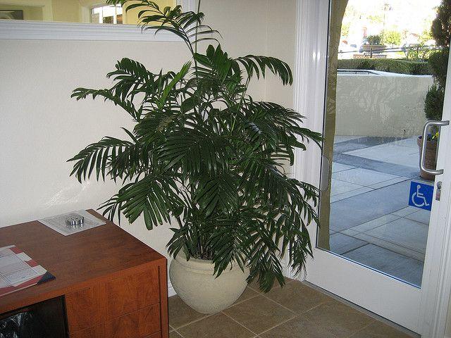 bambuspalma