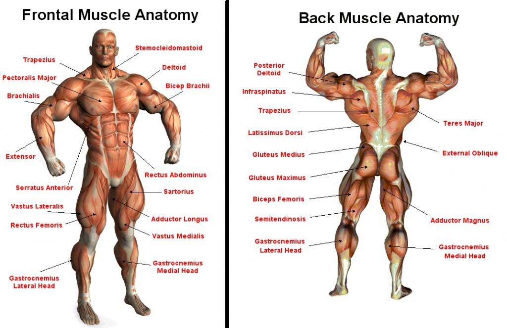 misici-anatomija